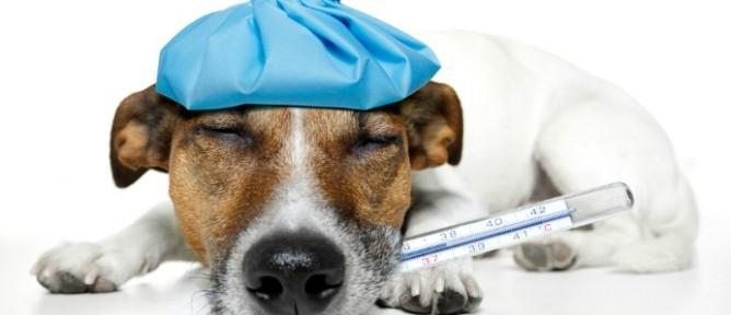sick-dog-668x288